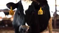 cow-face9