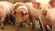 new-pigs-2